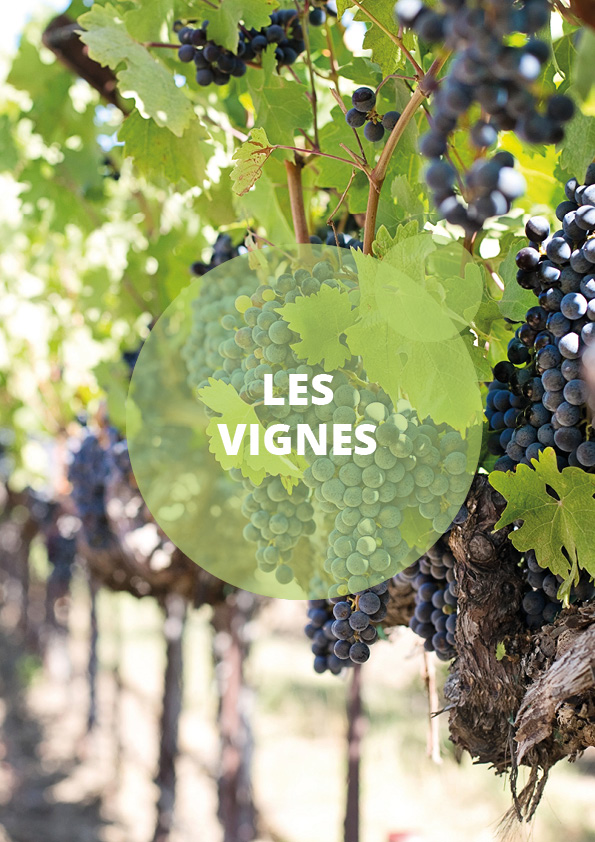 catégorie vignes